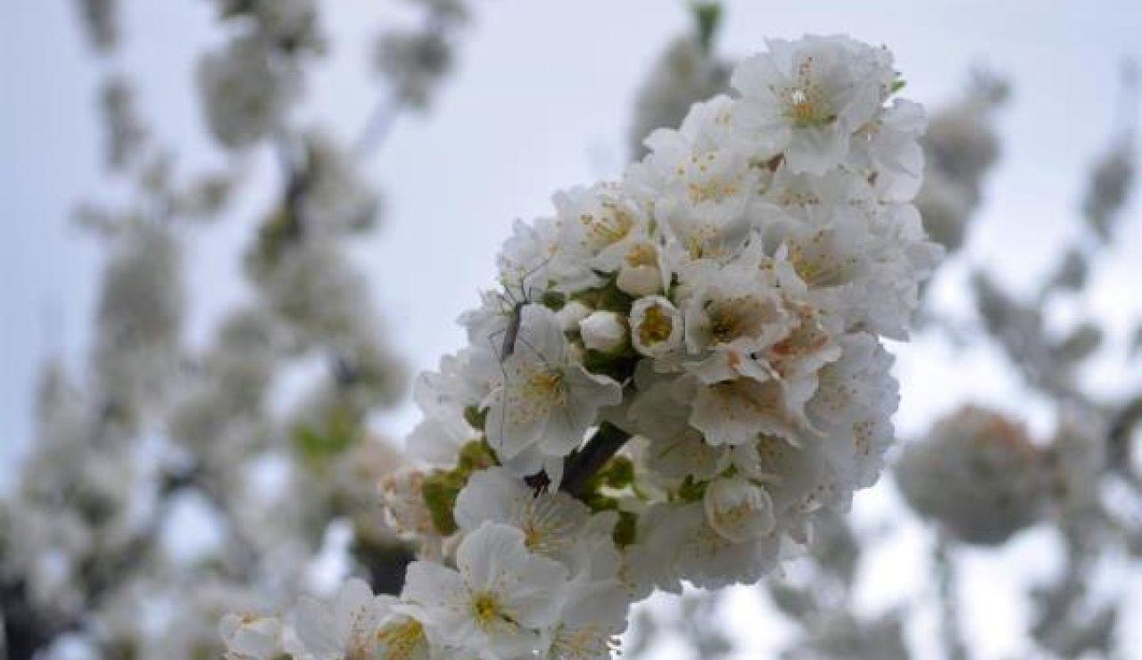 Imagen de un cerezo en flor en el Valle del Jerte