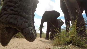 Elefante coge una GoPro y la lanza por los aires
