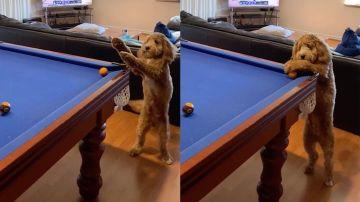 Perro jugando al billar