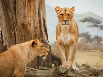 Dos leonas (archivo)