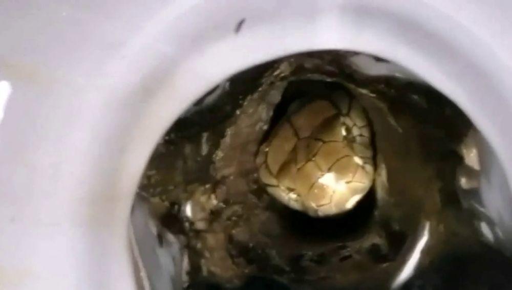 Bomberos sacan una serpiente cobra de tres metros de dentro de un váter