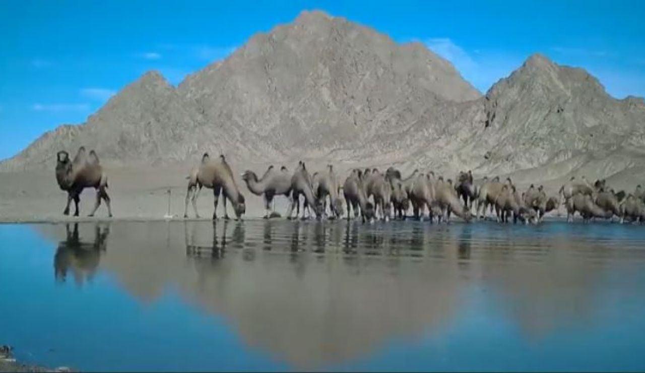 Camellos desierto Gobi