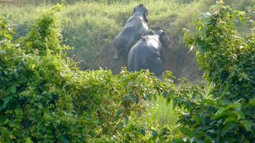 Adorable momento en que dos elefantes se ayudan mutuamente a salir de una zanja