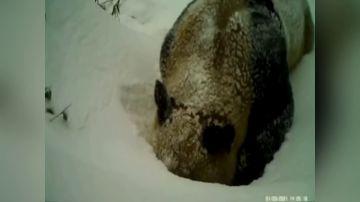 Panda salvaje excava en la nieve para alcanzar una fuente de agua en el sur de China