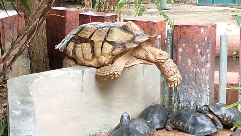 Rescatan a una tortuga gigante que quedó atascada en un muro