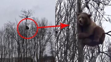 Oso trepando a un árbol