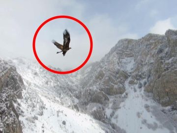 Águila volando junto a un dron