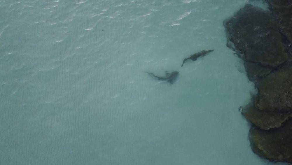 VÍDEO: Un tiburón intenta devorar un cocodrilo en Australia