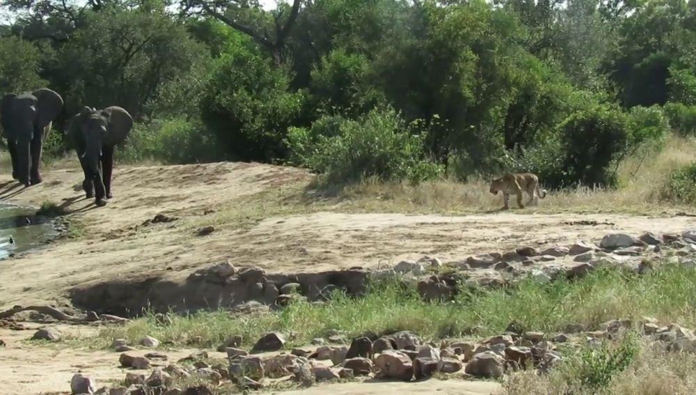 VÍDEO: Una manada de elefantes ahuyenta a un leopardo