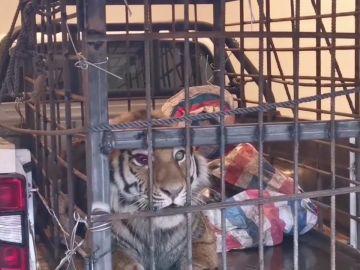 Atrapan a un tigre en Siberia después de atacar a unos aldeanos