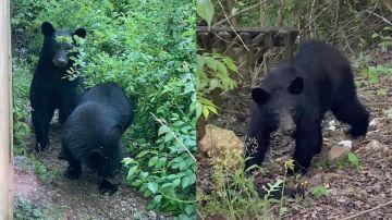 Familia de osos negros
