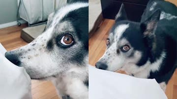 Perro mordisqueando la cama