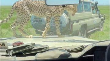 Un guepardo intenta entrar en un vehículo lleno de turistas en un safari