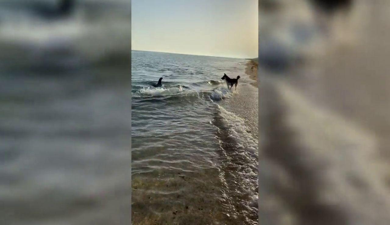 Un delfín nada hasta la orilla y juega con un perro en la playa