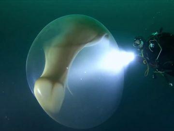 Dos buceadores hallan una misteriosa esfera gelatinosa en las aguas de Mallorca