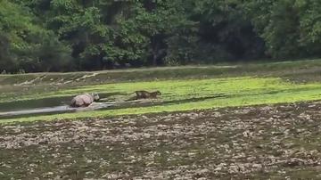 El raro momento en el que un rinoceronte cabreado persigue a un tigre en la India