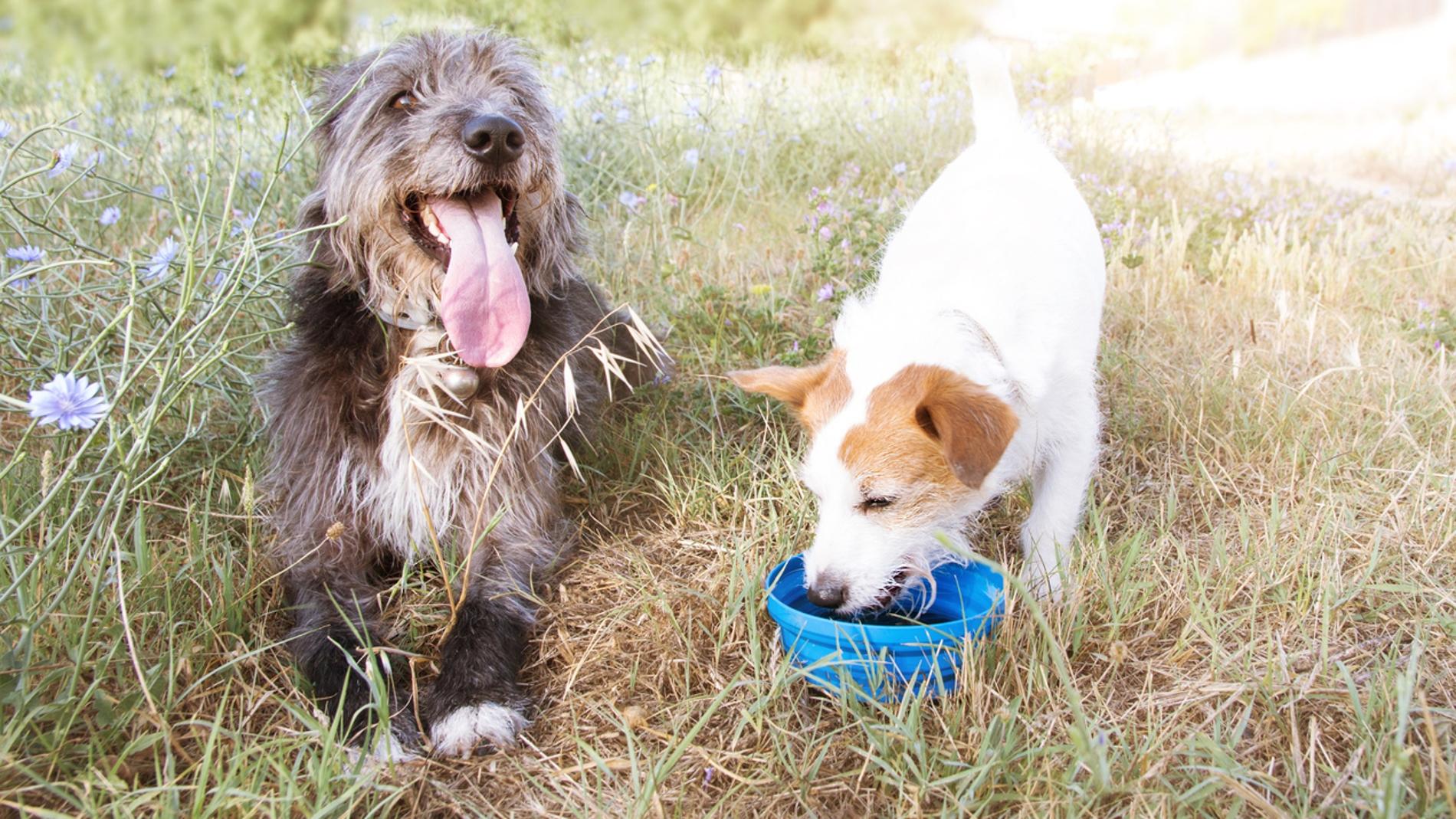 Llega el calor: estos son los peligros veraniegos para nuestros perros