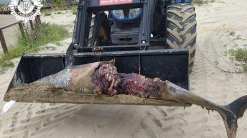 Delfín hallado muerto en Castellón