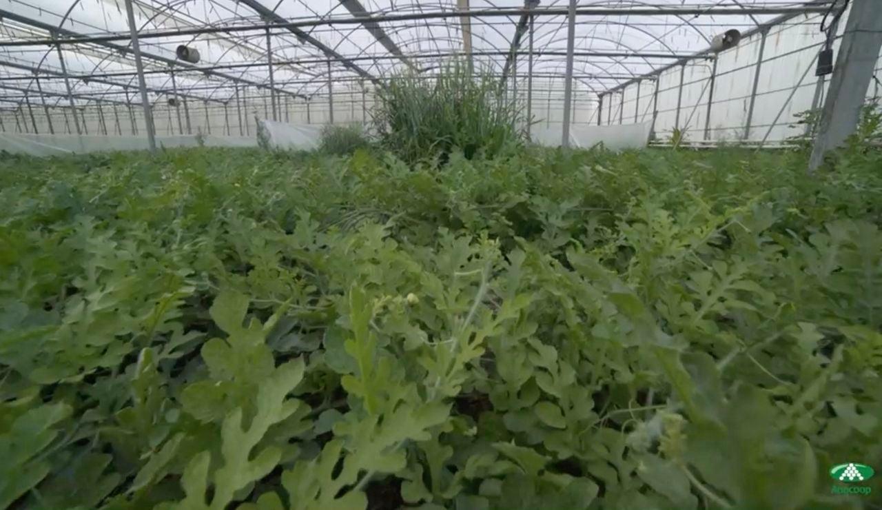 Las sandías Bouquet, producción convencional y Bio