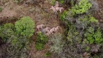Una manada de elefantes duerme la siesta tras 500 kilómetros caminando