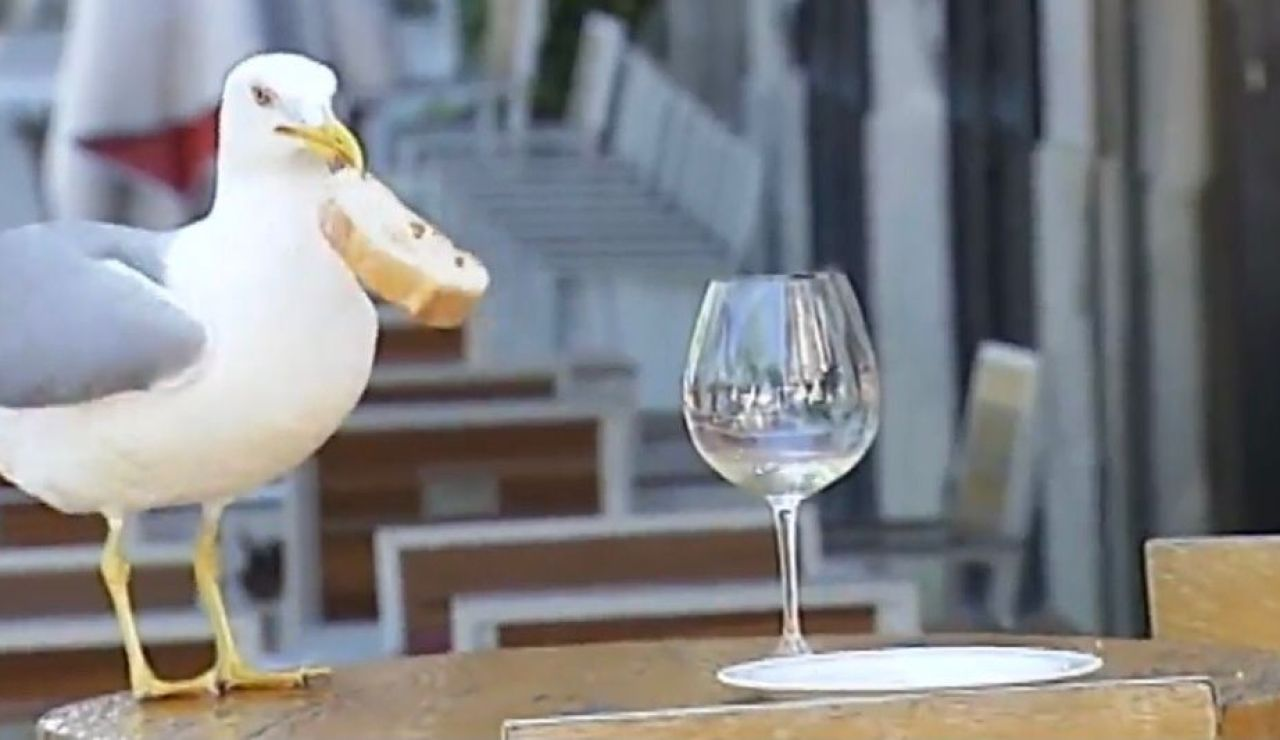 Una gaviota roba una rebanada de pan en Vigo
