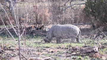 Consiguen grabar en vídeo a un rinoceronte blanco y a su cría en Sudáfrica