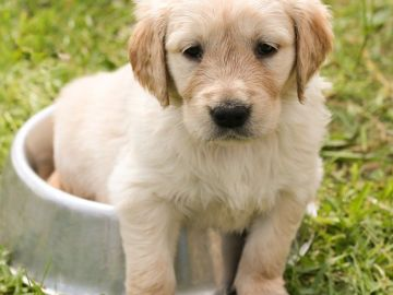 Cachorro de perro. Raza Golden.