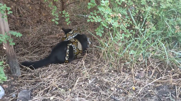 Rescatan a su gato que estaba a punto de morir estrangulado por una pitón y consiguen salvarle la vida