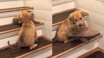 Cachorro intenta robar un zapato
