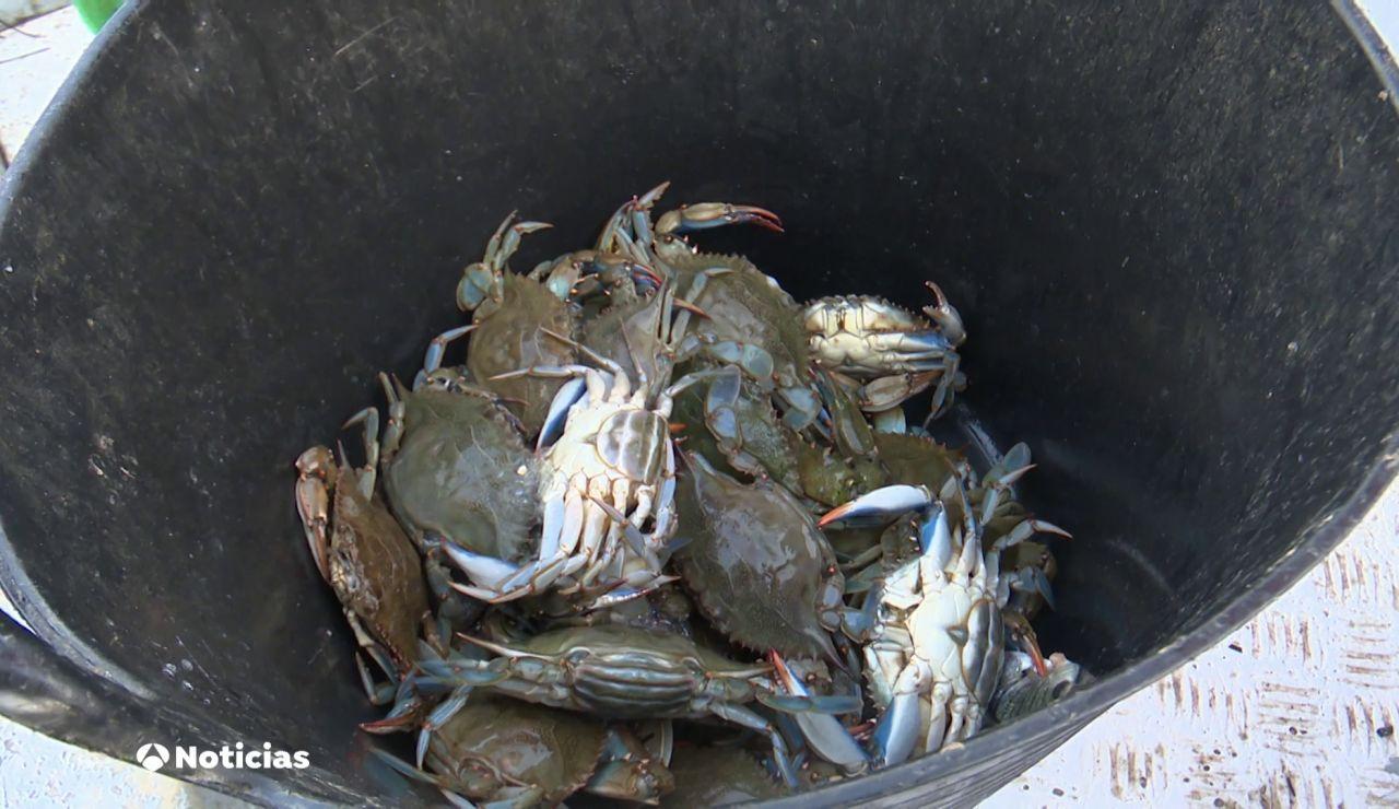 El aumento exponencial del cangrejo azul pone en peligro varias especies del Mar Menor