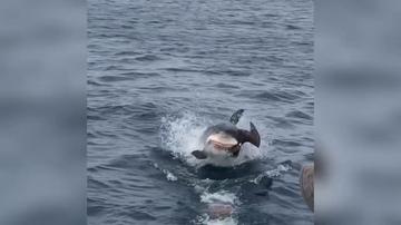 El increíble momento en el que una gran tiburón blanco devora un a un pájaro desprevenido