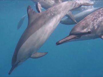 Docenas de delfines amistosos rodean a un nadador en Egipto
