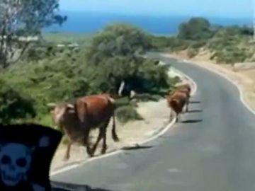 Una vaca en la playa de Bolonia indica el camino a un turista