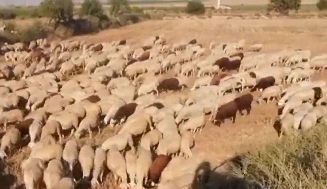 Los ganaderos se ven afectados por la mosca negra