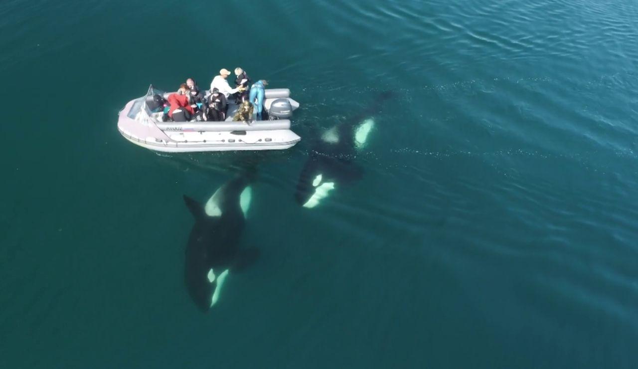 El impactante vídeo de un grupo de orcas nadando junto a un barco en Rusia