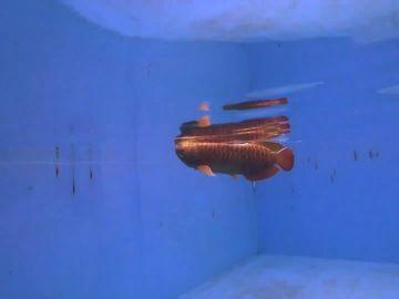 China crea un dron submarino con forma de pez
