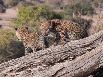 Consiguen grabar a una pareja de cachorros de leopardo jugando juntos mientras su madre no está presente