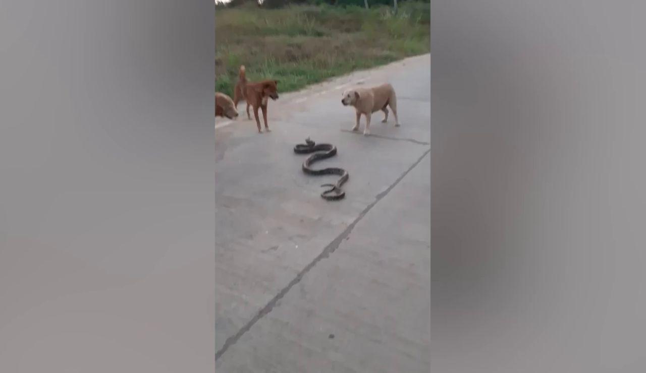 Tres perros se enfrentan a una serpiente pitón en Tailandia