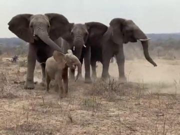El conmovedor momento que un elefante albino huérfano es recibido por su nueva manada