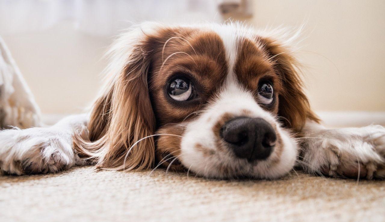En España se abandonan 15 perros sin microchip cada hora