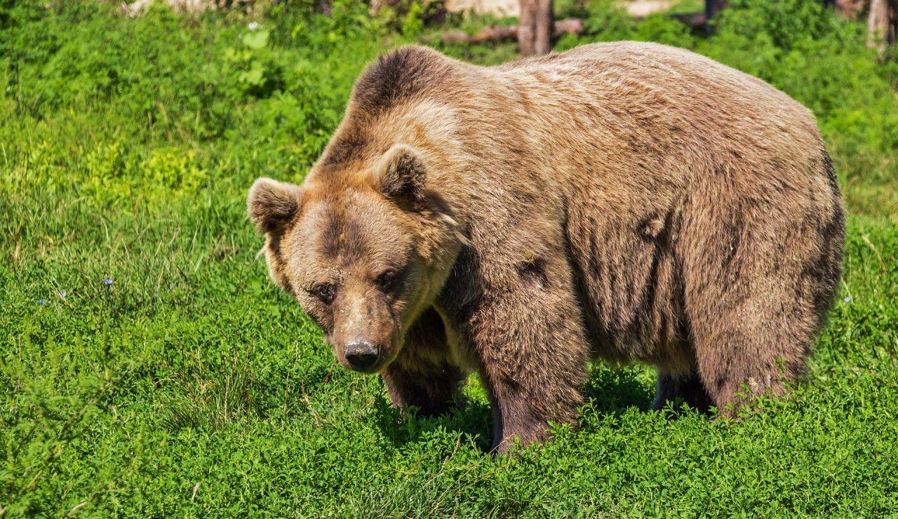 Los vecinos inmortalizan al oso que se pasea por las calles de Villalblino