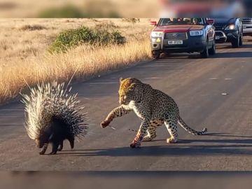 Un leopardo hambriento intenta comerse a un puercoespín pero sale perdiendo