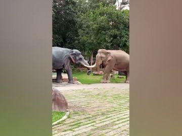 Un elefante ataca una escultura al considerarla un rival amoroso