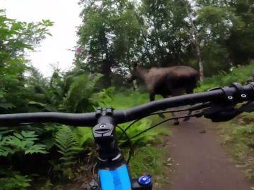 El impactante vídeo de un alce pasando muy cerca de un joven ciclista estadounidense