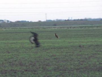 Una liebre salva la vida saltando por encima de un águila