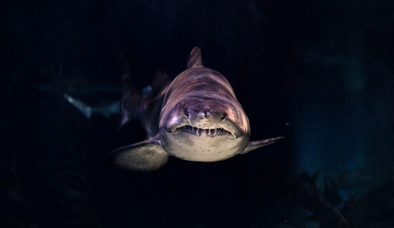 Tiburón en primer plano (archivo)