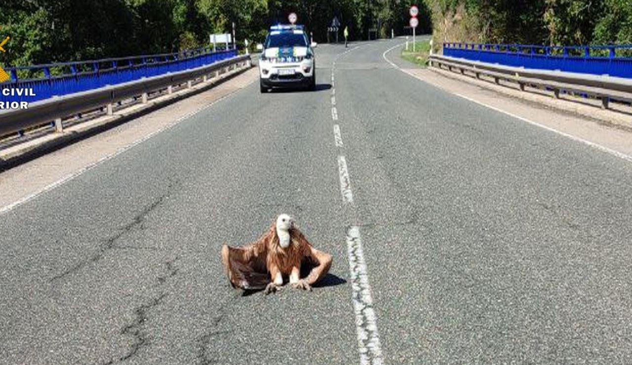 El momento en el que un buitre se posa en una carretera de La Rioja y obliga a cortar el tráfico