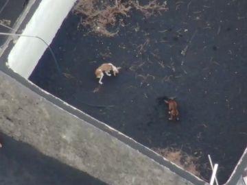 Los perros atrapados por la lava del volcán de La Palma serán rescatados con drones