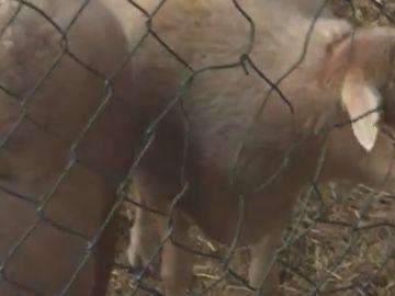Decenas de animales llegan a una granja en La Palma
