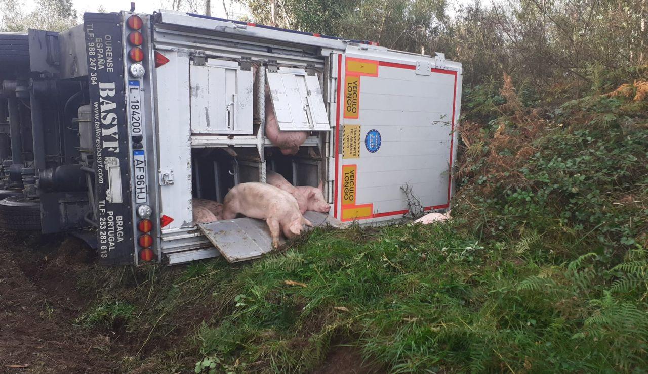 Vuelca un camión que transportaba más de 200 cerdos en A Coruña